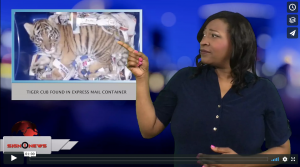 Sign 1 News with Candace Jones - Tiger cub found in express mail container