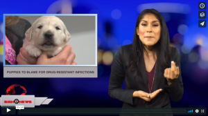 Sign 1 News with Crystal Cousineau - Puppies to blame for drug-resistant infections (ASL - 9.25.18)