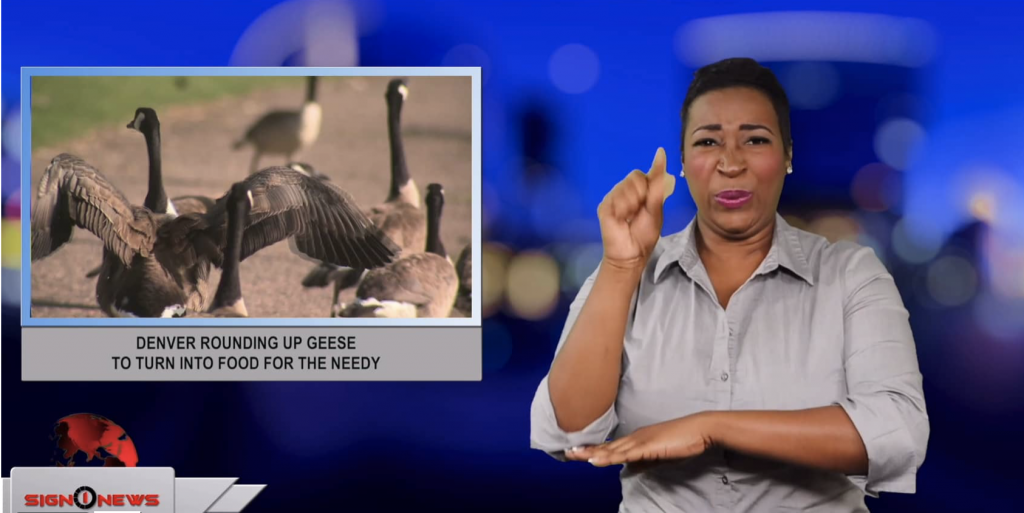Sign1News anchor Candace Jones - Denver rounding up geese to turn into food for the needy (ASL - 7.3.19)
