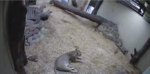 Sign1News anchor Candace Jones - Adorable lion cub startles mom (ASL - 10.12.19)
